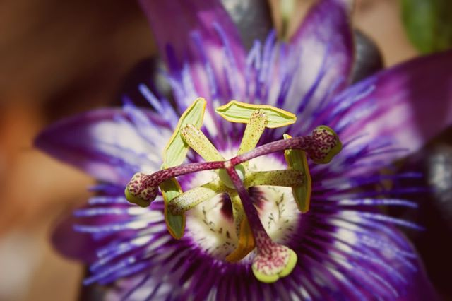 The Language of Flowers 🌺 Passion Flower (Passiflora) 🌺 Faith 🌺candicesardella.com . . . . #languageofflowers passionflower #skincare #skin #wellness #organic #holistic #organicskincare #naturalbeauty #goodskin #essentialoils #holistichealth #healthylife #facials #facial #esthetician #esthetics #beauty #sanfrancisco #potrerohill
