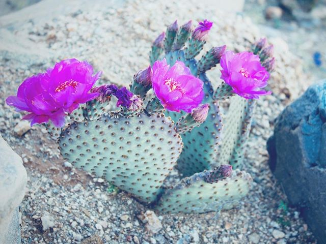 The Language of Flowers 🌸Cactus (Opuntia) 🌸Ardent Love 🌸candicesardella.com . . . . #languageofflowers #cactus #ardentlove #flower #botanical #wellness #naturalbeauty #holisticbeauty #organicskincare