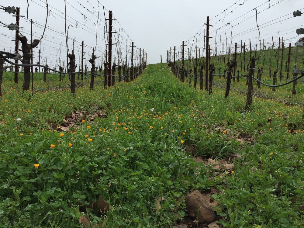 A row of flowers between the vines at Benziger Winery. (Emi Kolawole)