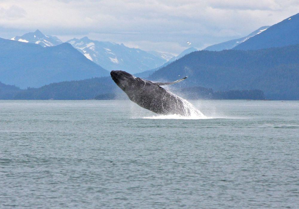 A humpback whale we saw near Juneau Alaska on our trip.