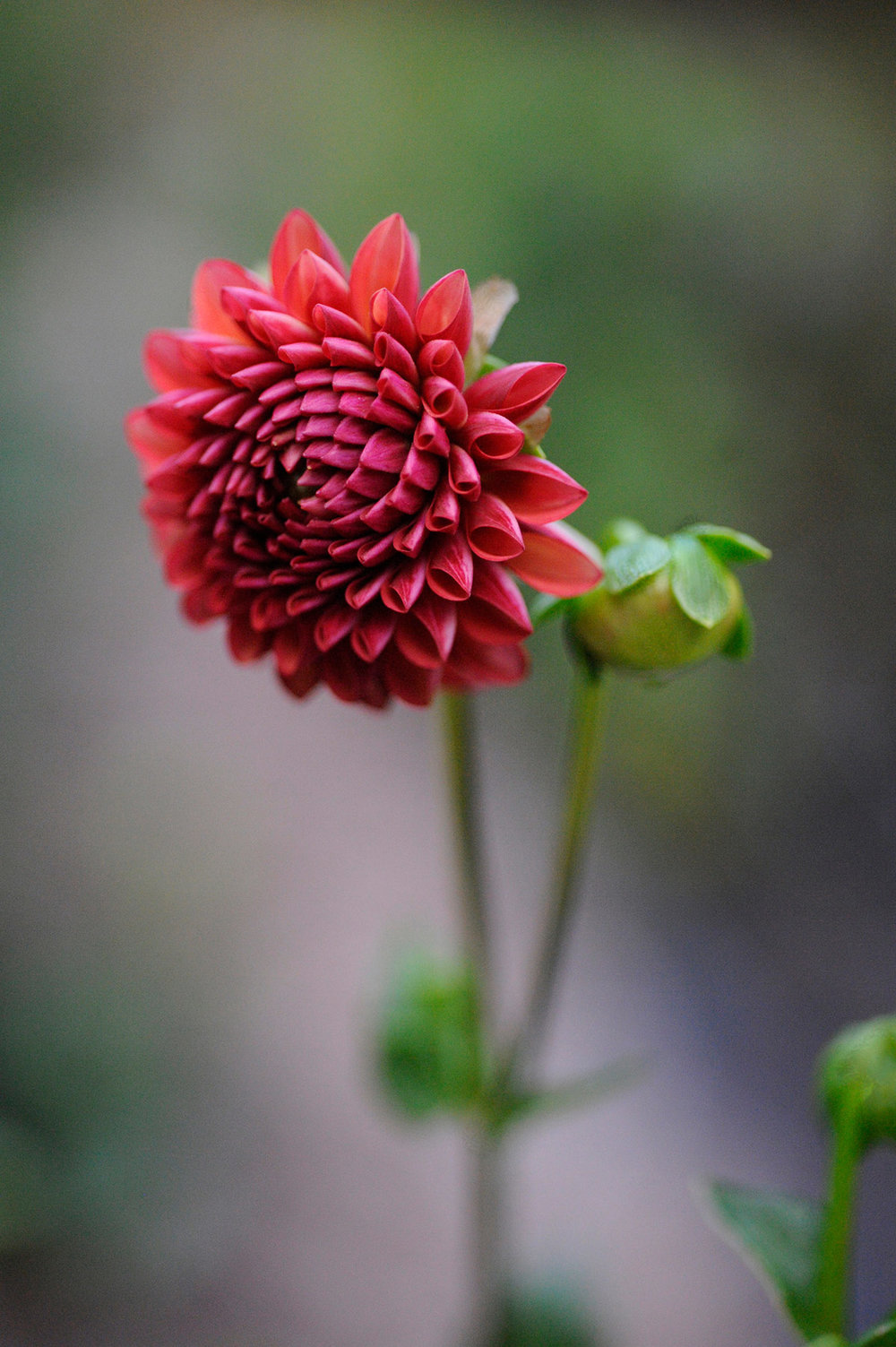 2017-Oct-dahlia-red-RESIZE.jpg