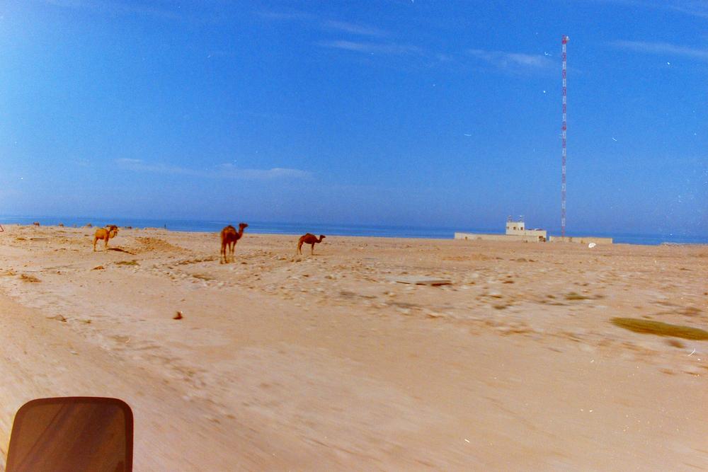 wild camels.jpg