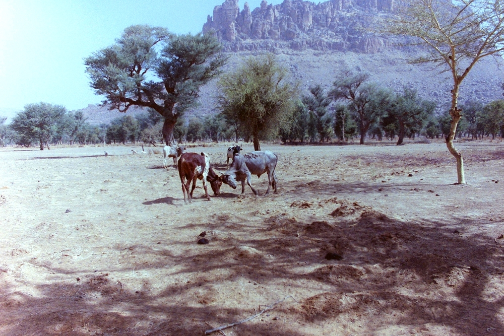 Herd animals near Timbuktu