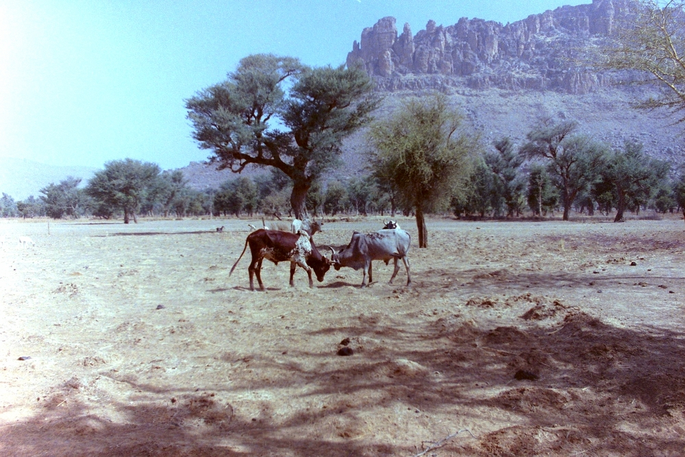 More herd animals near Timbuktu