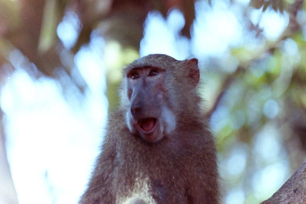 monkey in Ghana