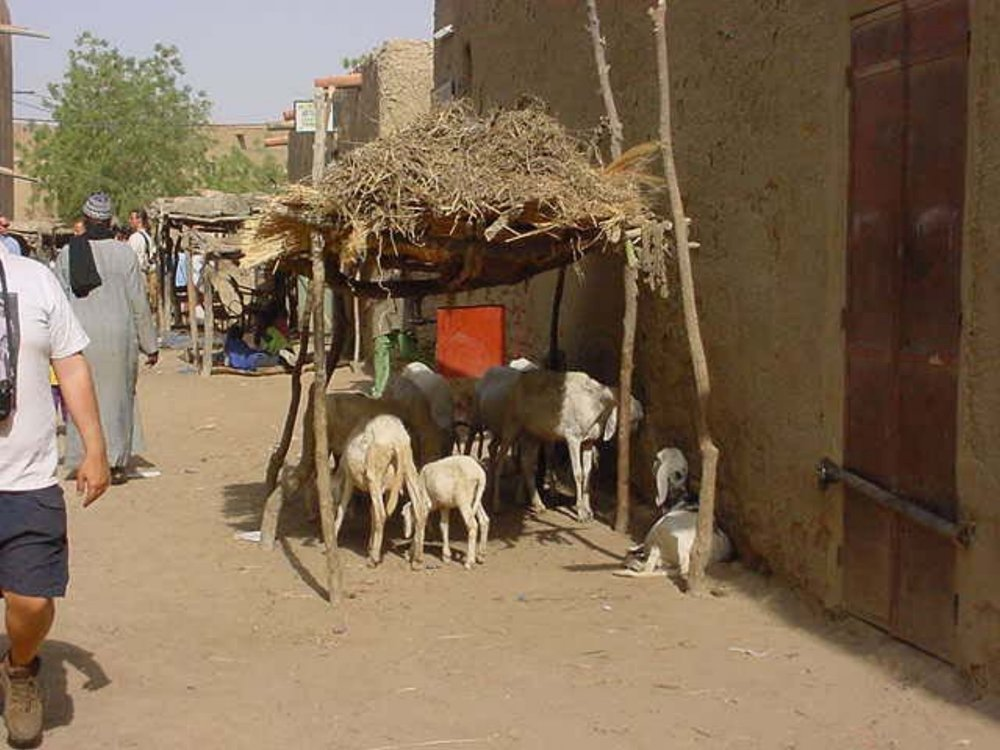 Animals hide from the noon heat in Djenne Mali