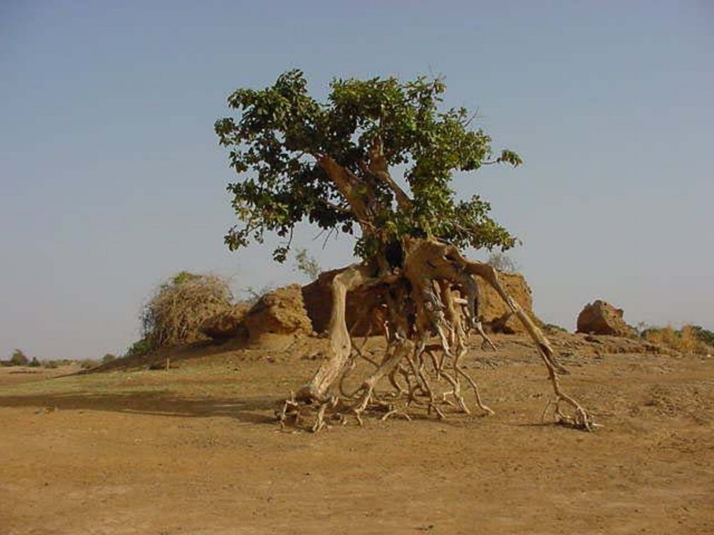 An interesting tree near Djenne Mali