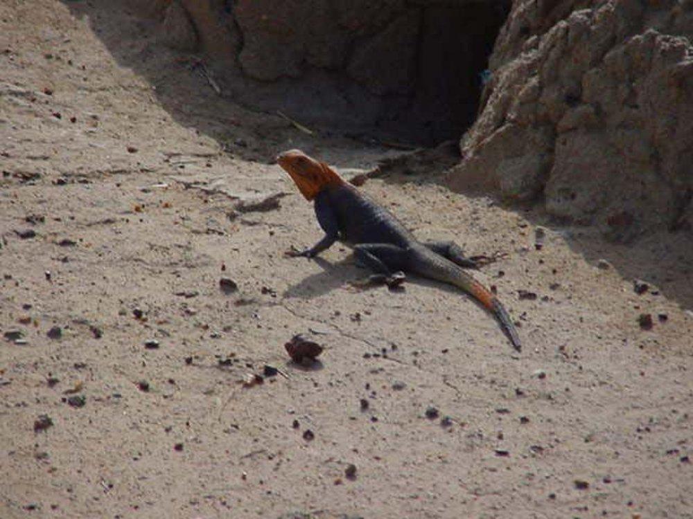 A local lizard