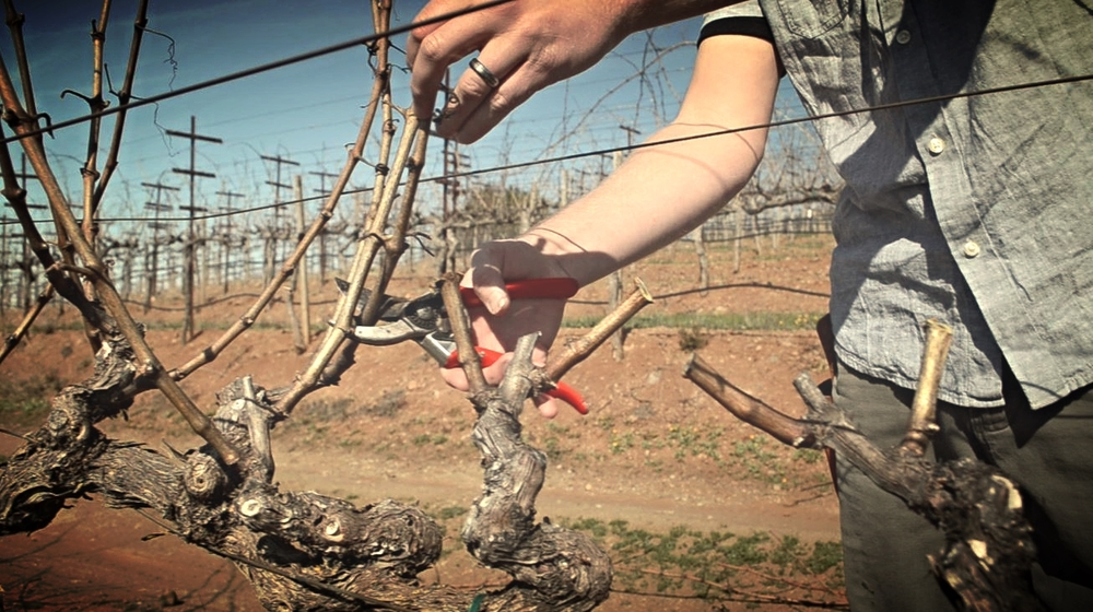 Pruning the vines in January