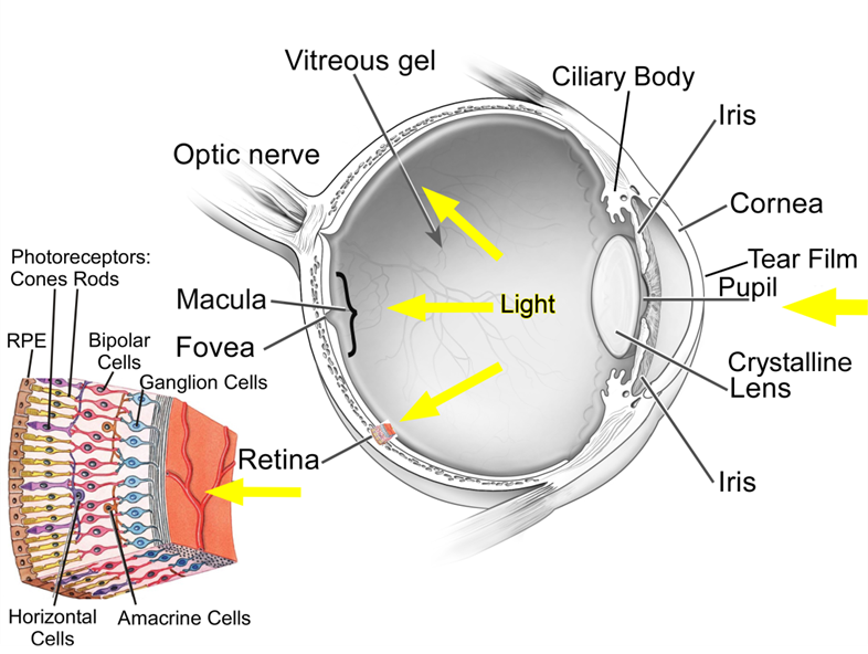 things i learned at science camp (part 2) \u2014 laura vican haney Cow Eye Rods and Cones it must travel through a web of nerve cells before reaching the photoreceptors the human eye has two different types of photoreceptors rods detect
