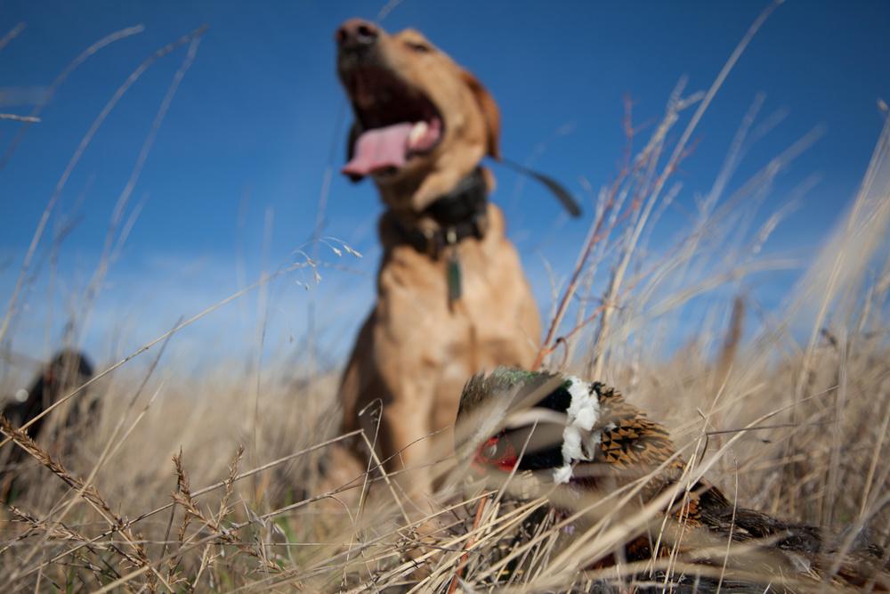 North eastern Colorado pheasant hunt.