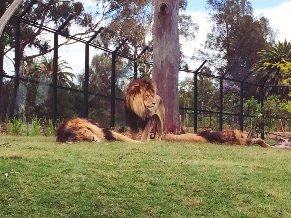 Lion Gorge - Melbourne Zoo