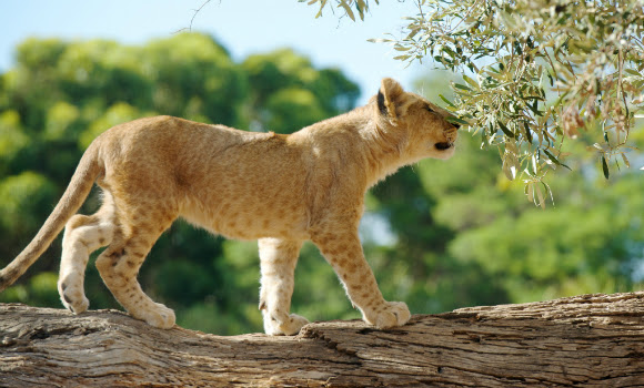 lioncubparty01.jpg