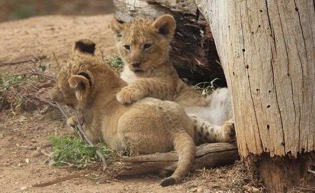 lioncubparty02.jpg