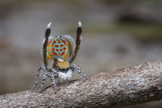 Peacock Spider - photo credit: Australian Museum