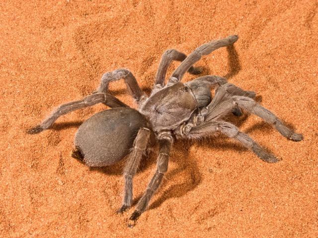 Selenocosmia Tarantula - photo credit: Australian Museum