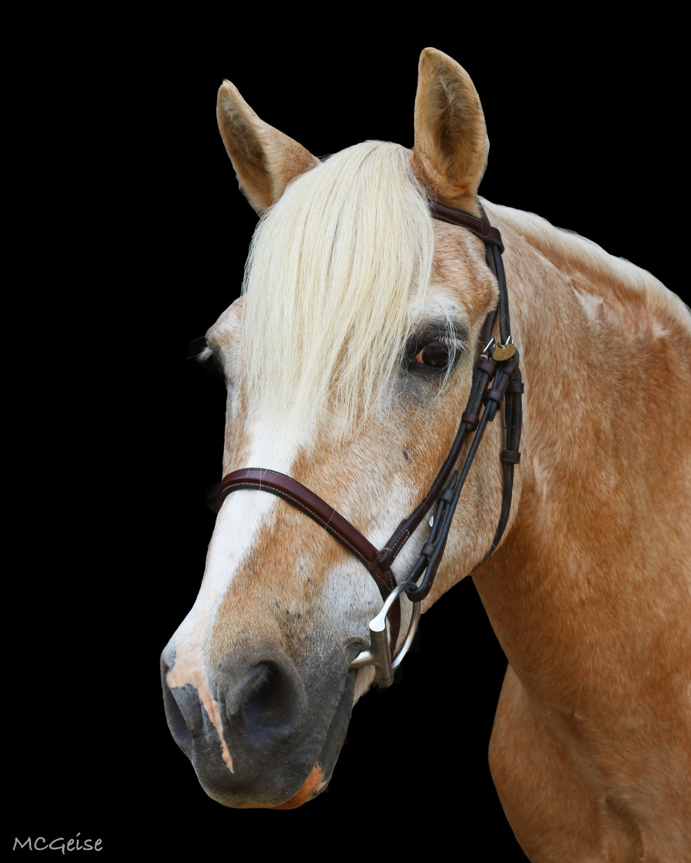 ALVIN   Alvin  is a 12.1 hand Halflinger Cross pony who takes care of the children that he works with. Whether it is a tiny two year old in therapy or a child learning to ride independently for the first time in camp, he will take care of them.