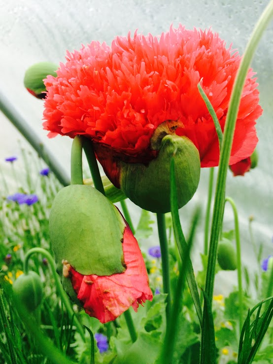 Red-Poppys.jpg