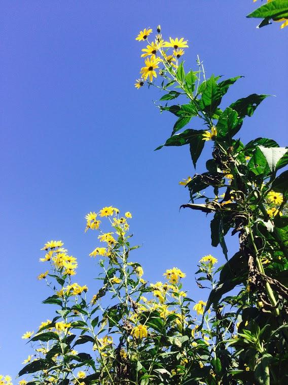 Sunchoke-Flowers.jpg