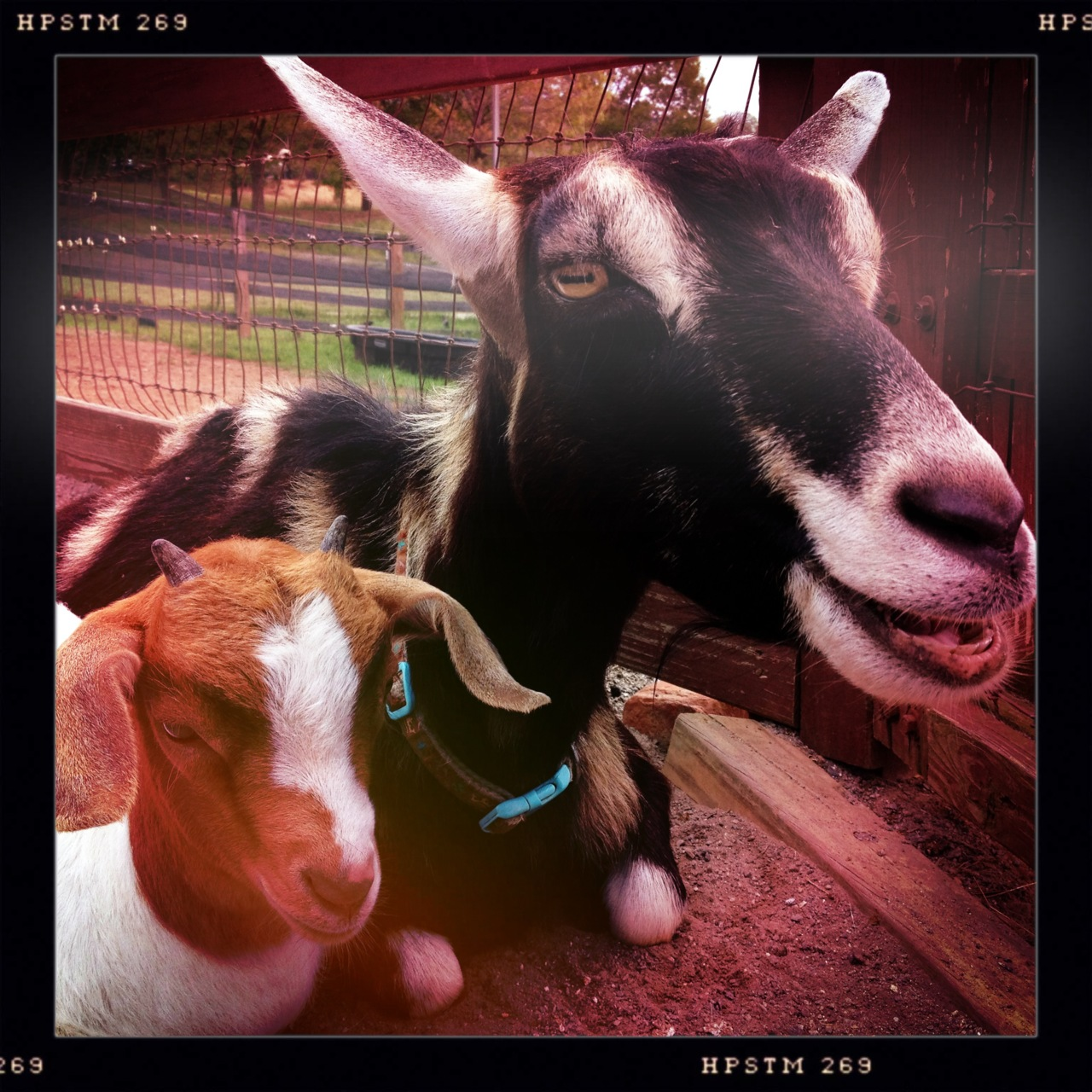 Happy #MothersDay from the goats @BiltmoreEstate. #snuggletime #avl #avlent