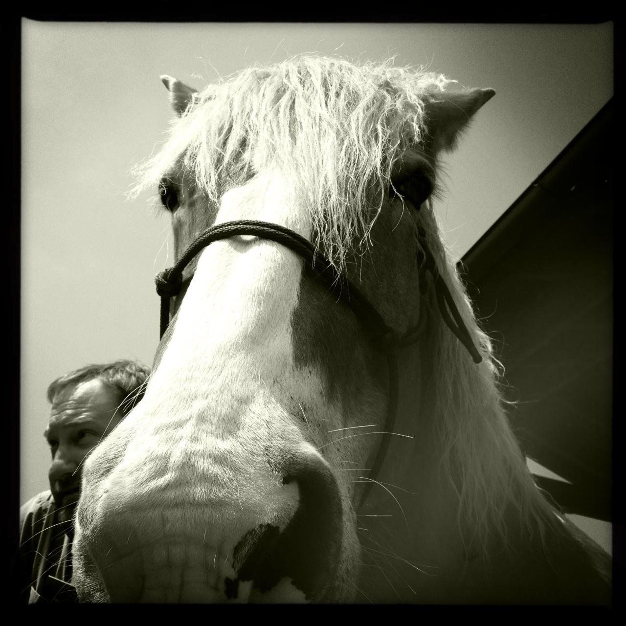 Retired #belgian #draft #horse @BiltmoreEstate. #avl #avlent