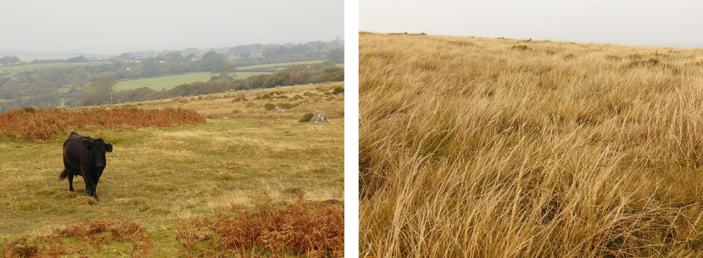 Wondering-Through-Autumnal-Days-Cow-Field.JPG