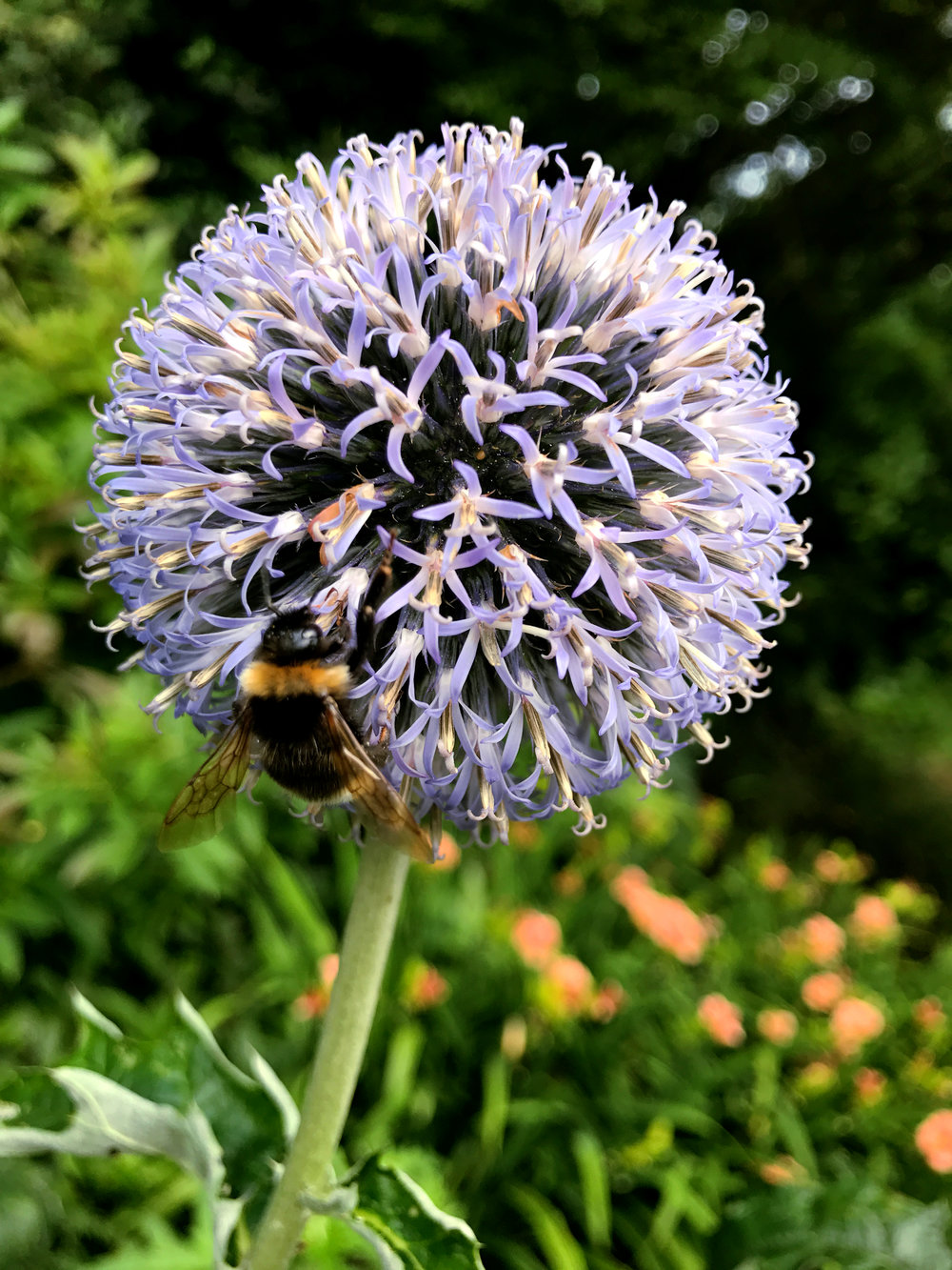 Wondering-Through-Visit-Lanhydrock-House-Cornwall-National-Trust-Flowers-Bumble-Bee.jpg