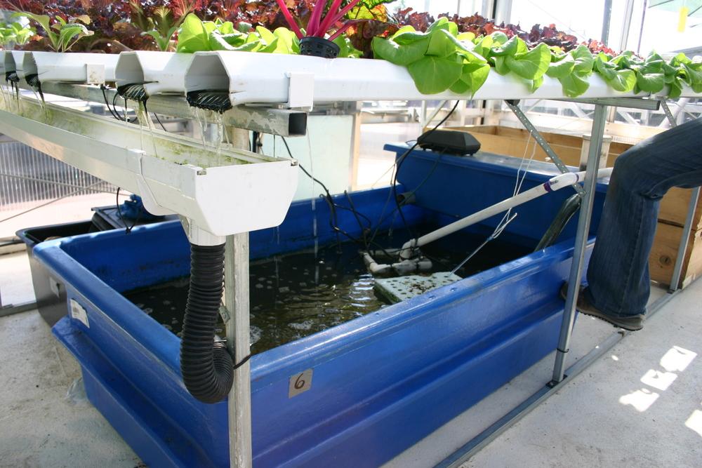 Aquaponia en tanques de agua aziles