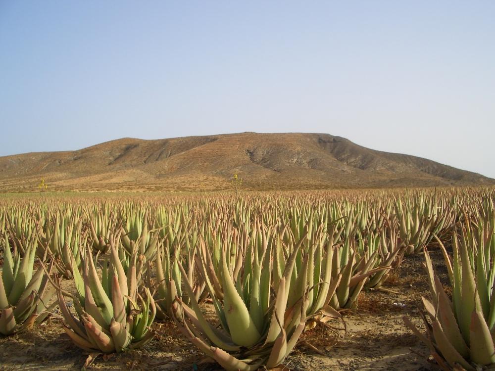 aloe vera plantation in Fuerteventura