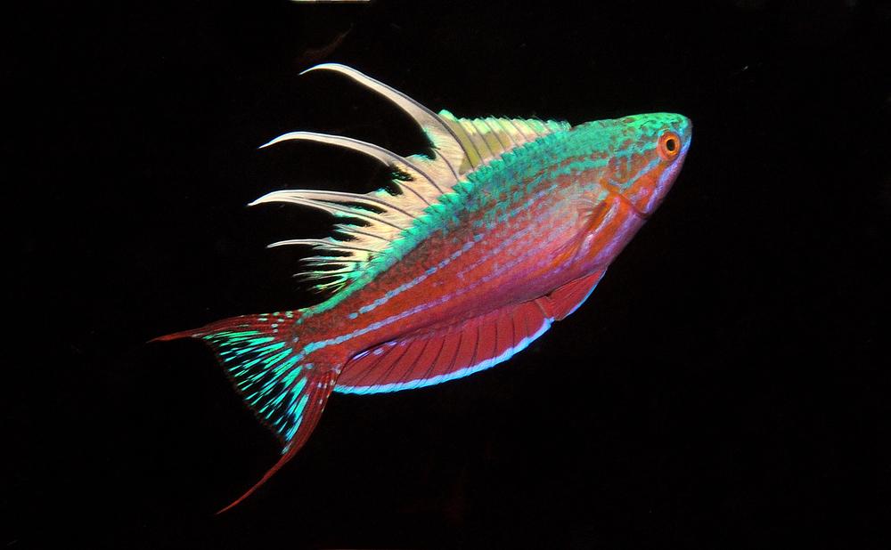 Paracheilinus cyaneus.jpg