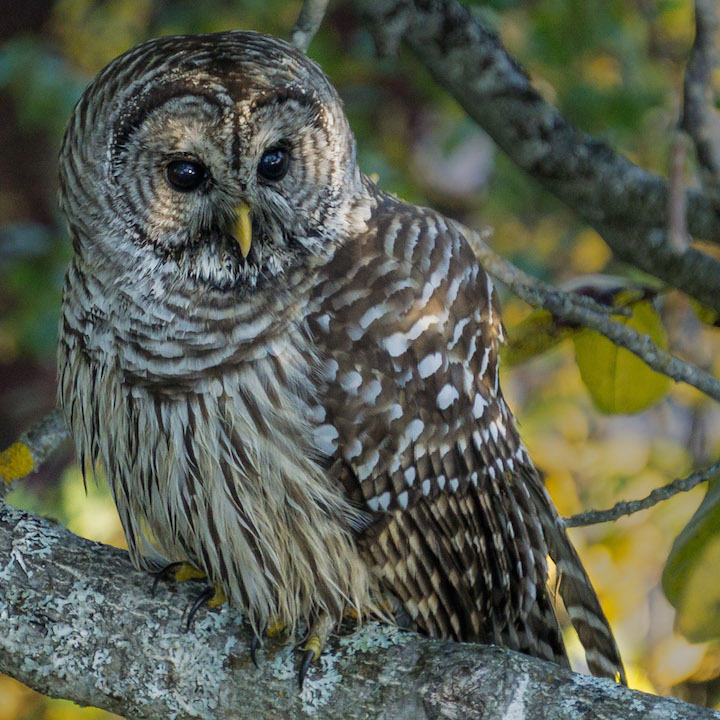 Barred Owl, Port Townsend, 2017