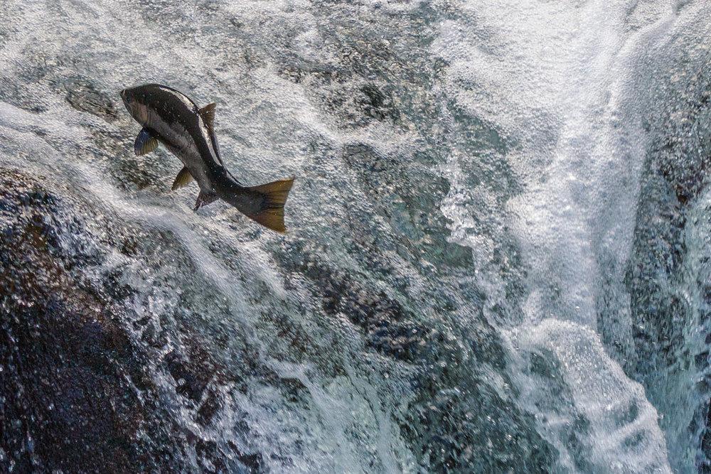 Copy of Coho Salmon, Sol Duc Cascades, 2017