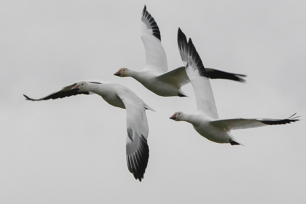 Snow Geese, Skagit Flats, 2018
