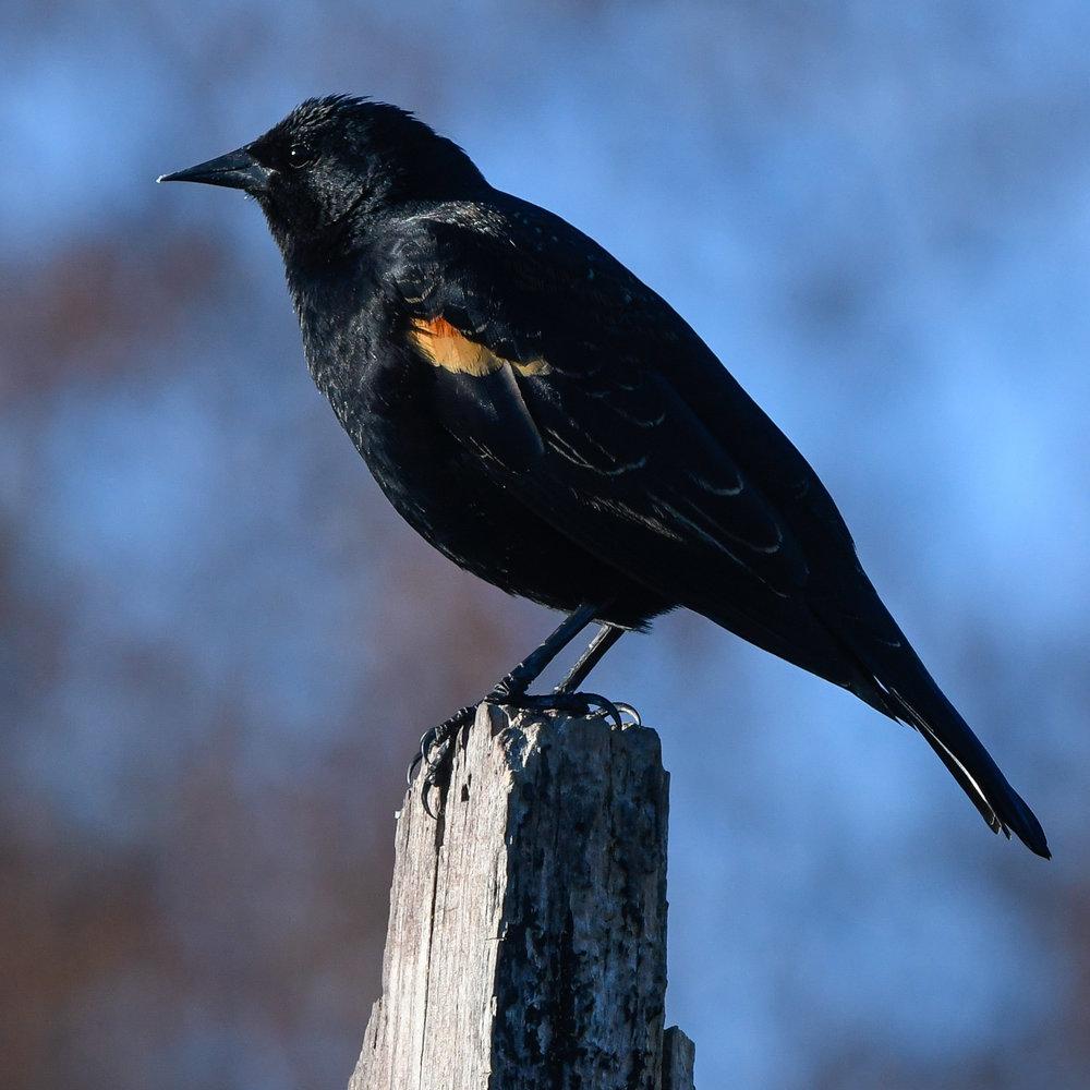 Redwing Blackbird, Port Townsend, 2018