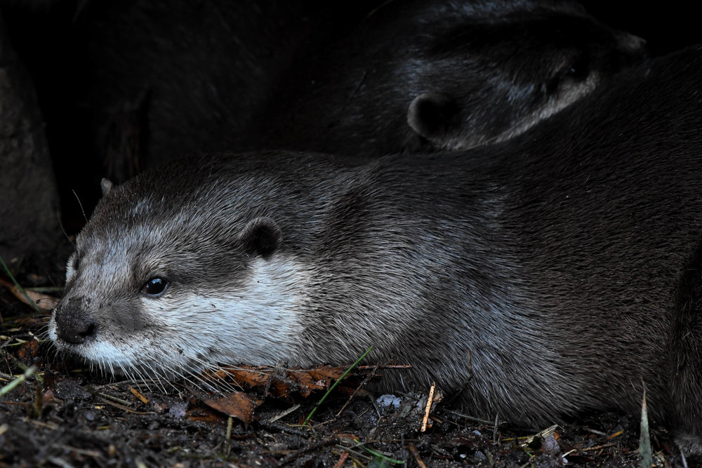Copy of Asian Small-clawed Otters, Woodland Park Zoo, 2018