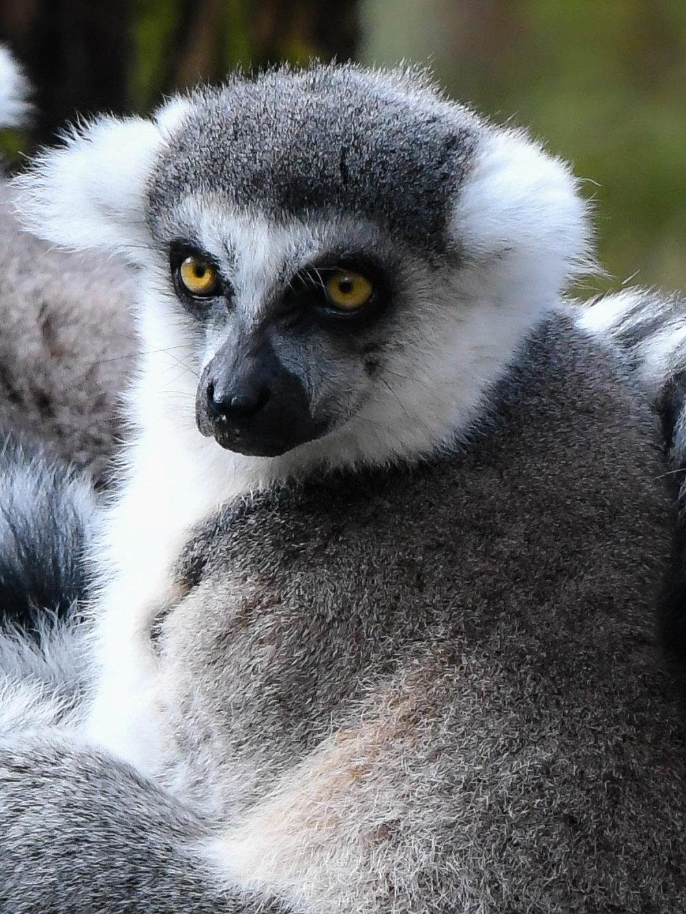 Copy of Lemur, Woodland Park Zoo, 2018