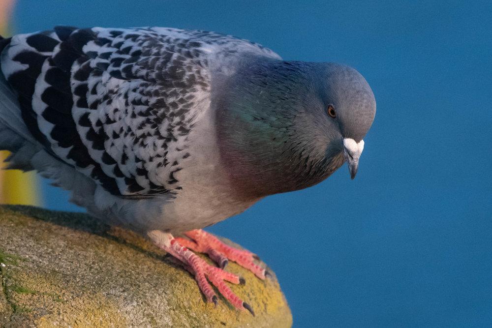 Pigeon, Fort Worden, 2018