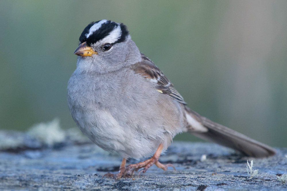 White-crowned sparrow, Fort Worden, 2018