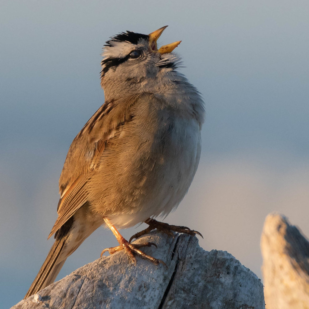 White-crowned Sparrow, Pt. Wilson, 2018