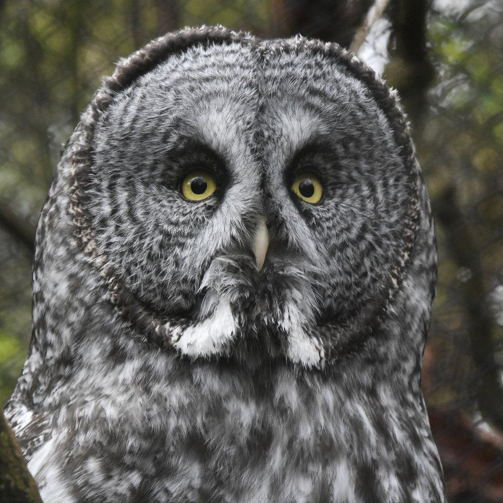 Great Gray Owl, Woodland Park Zoo, 2018