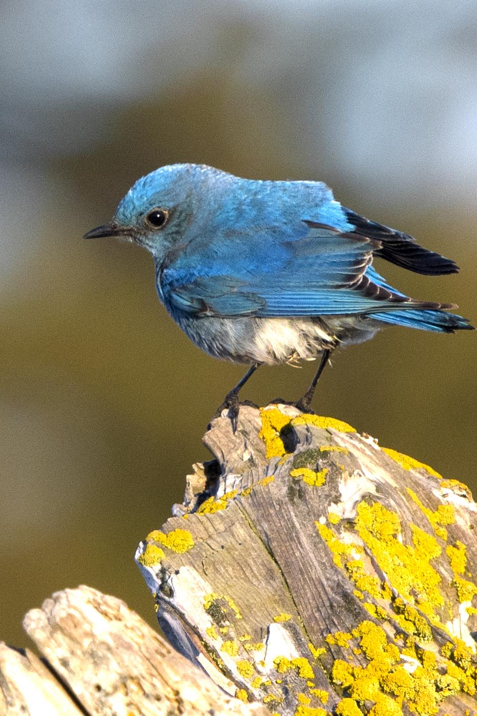 Mountain Bluebird, Pt. Wilson, 2018