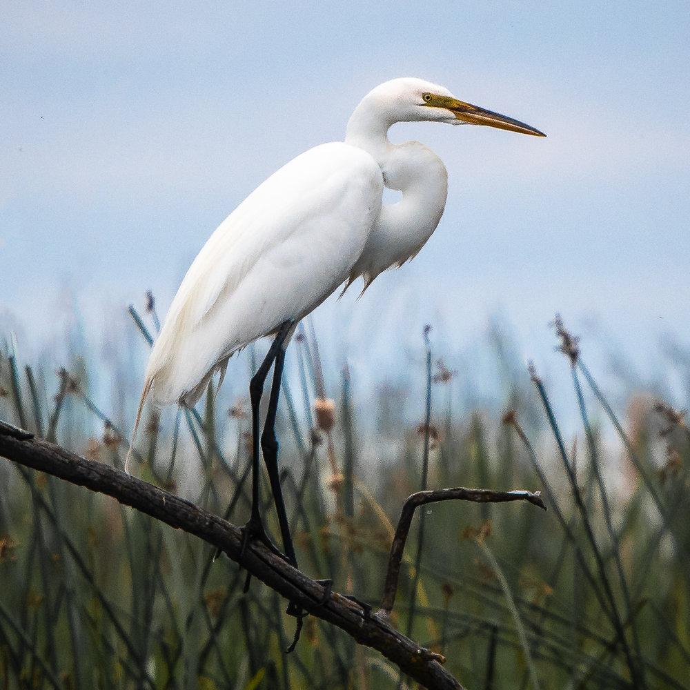 Great Egret, Wood River OR, 2018