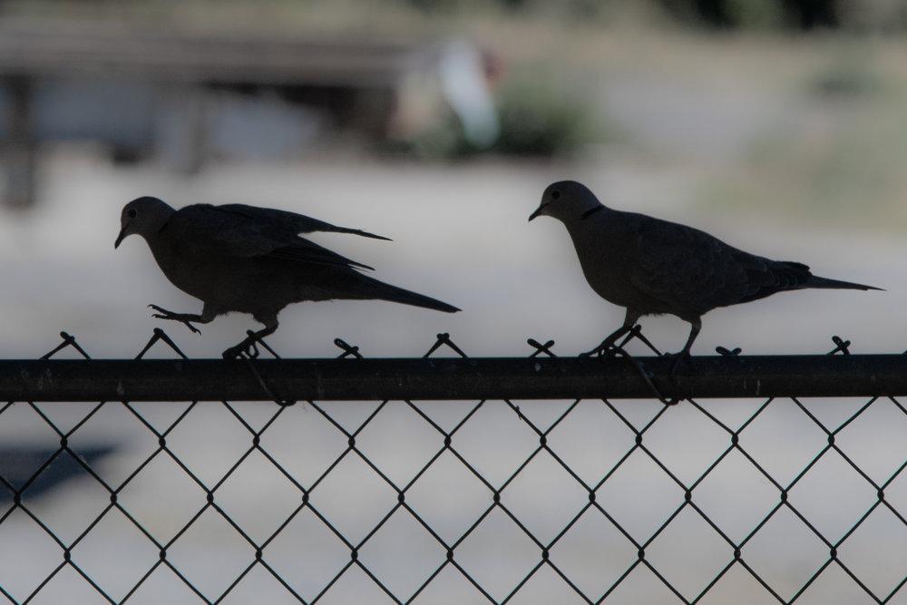 Eurasian Collared Doves, Oregon 2018