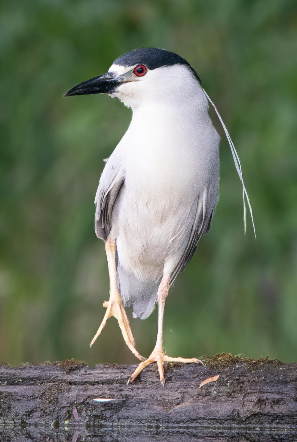 Black-crowned Night Heron, Oregon, 2018