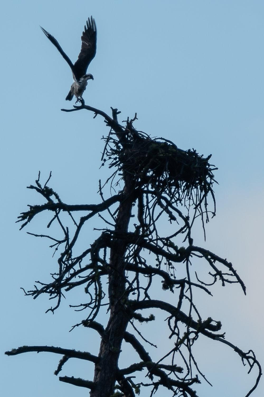 Osprey, Oregon, 2018