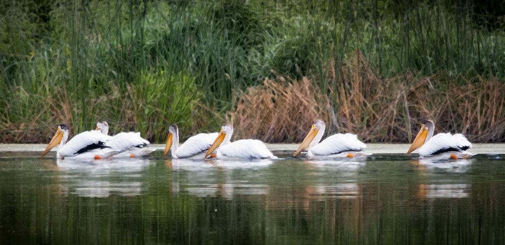 American White Pelicans, Oregon, 2018