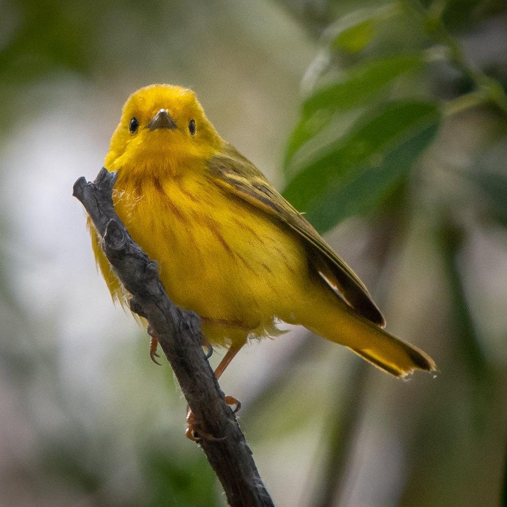 Yellow Warbler, Oregon, 2018