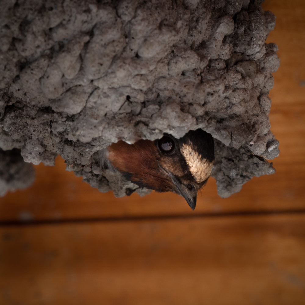 Cliff Swallow, Lower Klamath NWR, 2018