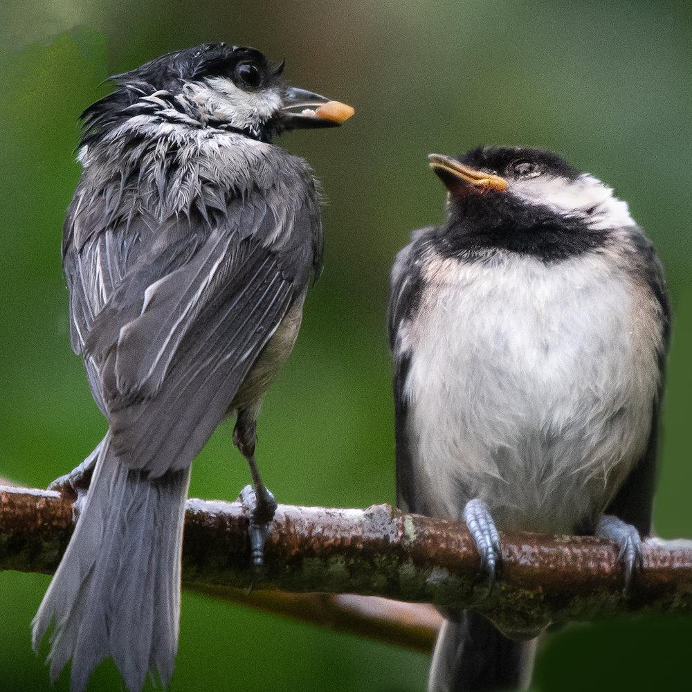 Black-capped Chickadee, Port Townsend, 2018