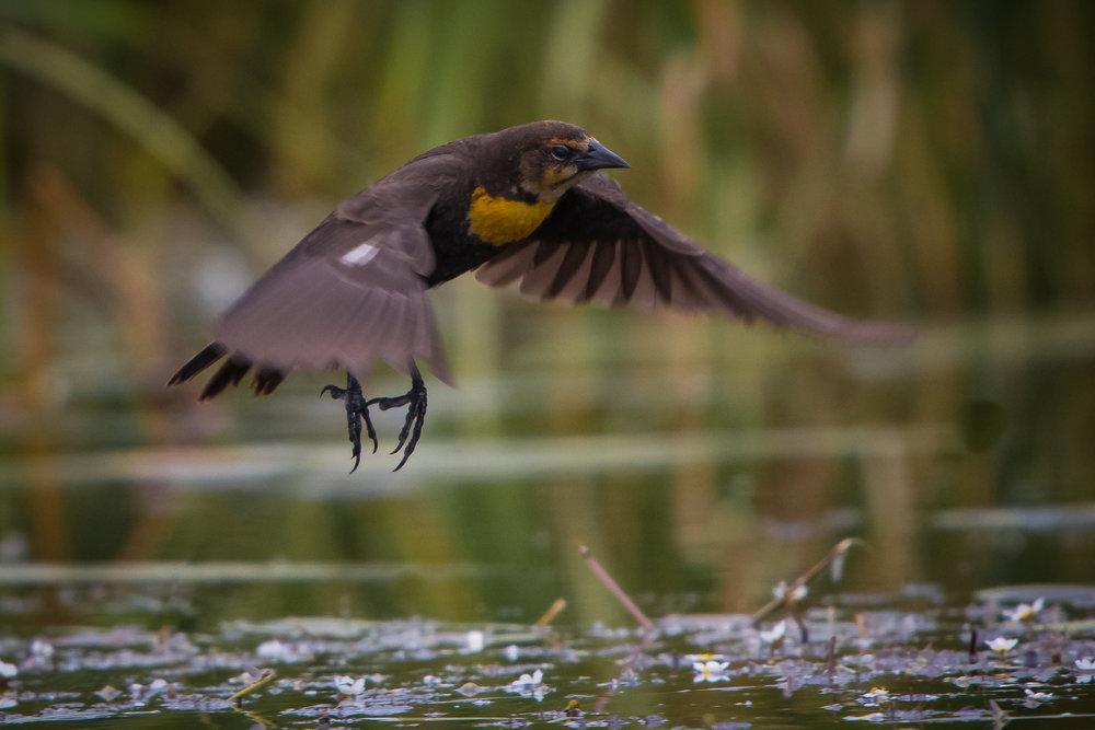 Yellow-headed Blackbird, Oregon, 2018
